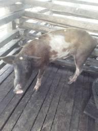 Porcos a venda