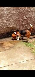 Título do anúncio:  Beagle Puro Disponível pra CRUZAMENTOS.
