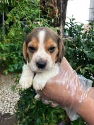 Beagle 13 poelegadas corra e garanta o seu