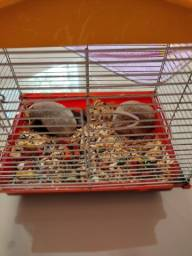 Título do anúncio: Hamster sírio