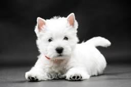 Lindos West Terrier