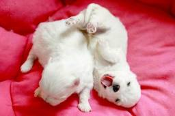 Maltês filhotes micro lindos