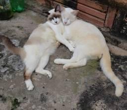 Título do anúncio: Gatos siameses (Doação)