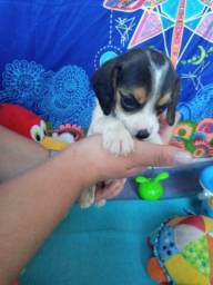 Encantando com esses beagles