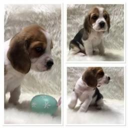 Beagle lindos filhotes disponíveis fêmeas e machos