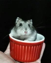 Hamster Anão Russo.