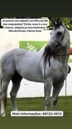 Cavalo Filho do Roxão PO de Direita