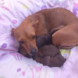 Filhotes fêmeas de pinscher  com poodle.