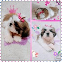 Belíssima filhote de Shih tzu, perfeita no padrão da raça, pelagem abundante e linda.