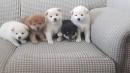 Filhotes De Shiba Inu