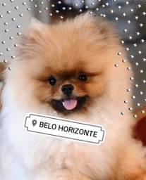 Título do anúncio: Lulu da Pomerânia lindos