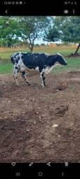 Título do anúncio: Excelente vaca leiteira, 1° cria.