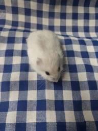 Título do anúncio: Hamster Anao russo/Chinês