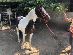 Cavalo Mangalarga Pampa de Preto Garanhão