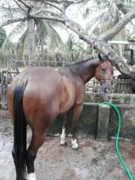 Cavalo craque de esteira
