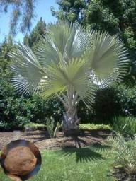 Palmeira Azul ( Bismarckia )