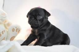 Pug preto/abricot,oferecemos suporte veterinário exclusivo !