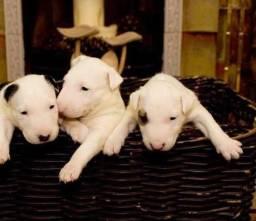 Bull Terrier Inglês tigrado/pirata/tricolor-temos 6 lojas-(11)2369-3829  *