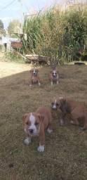 American Bully x American Staffordshire Terrier