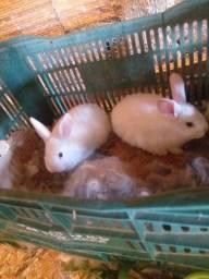 Vendo coelhos filhote 25 cada é adulto por 50
