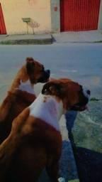 Título do anúncio: 2 cachorra raça boxer. Obs: são mãe e filha, super dócil, interessados chamar no chat.