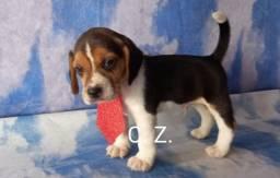 Título do anúncio: Filhotes de beagle ótimo padrão com recibo de compra e venda