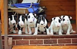 Título do anúncio: Filhotinhos de Bull Terrier