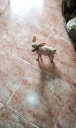 Pinscher macho com 3 meses