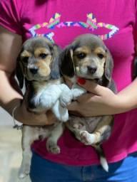 Título do anúncio: Beagle com pedigree e microchip disponível
