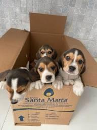 Beagle 13 polegadas,bicolor e tricolor ,com suporte veterinário gratuito!<br><br><br>