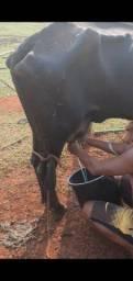 Título do anúncio: 8 Vacas leiteiras  paridas
