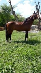 Cavalo Mangalarga Machador (Marcha Picada)