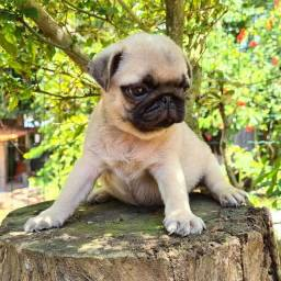 Pug Femeas