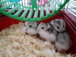 Vendo Hamsters Anão Russo bbs