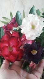 10 Sementes Rosa do Deserto