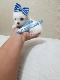 Filhote Poodle Micro Macho