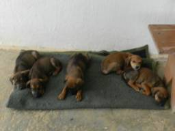 doação de filhotes de cachorros