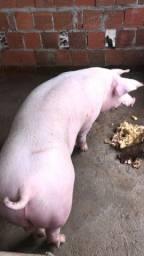 Vendo porcos de raça  $8,50 o kg