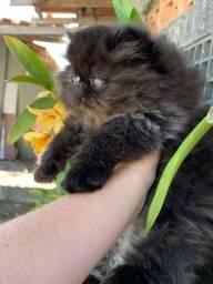 Título do anúncio: Gato persa