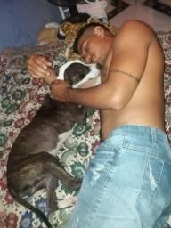 Pitbull pedigree leia