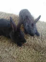 Lindas coelhas cada uma 20 reas