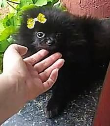 Linda fêmea preta sólida anãozinha minuscula spitz alemão anão