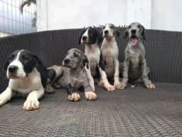 Canil Canaã- Filhotes de Dogue Alemão (Fêmeas)