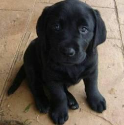 Labrador fêmea 200 reais cada