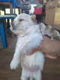 Vendo filhote de Shitzu com Lhasa apso