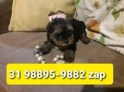 Título do anúncio: Lindos Filhotes Cães BH Yorkshire Terrier Miniatura