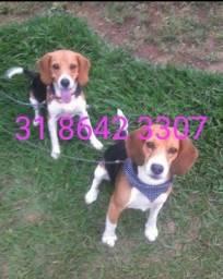 Título do anúncio: filhote de beagle
