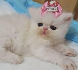 Filhote de gata persa branca femea pura.Entrego em Camboriú,Joinville,Floripa