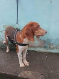 Título do anúncio: Fox hound americano com beagle
