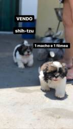 Título do anúncio: Shitzu macho 700 reais  e fêmea 900 reais vacinado e vermífugado